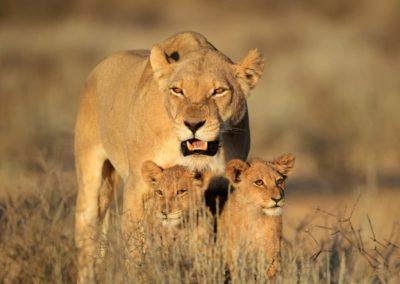 Afrique du Sud-lion__Armonie Voyages-Poitiers