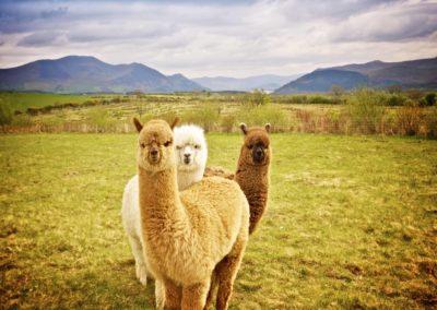 pérou-lama_armonie voyages_poitiers