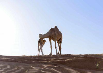 Oman-dromadaire_Armonie Voyages-Poitiers